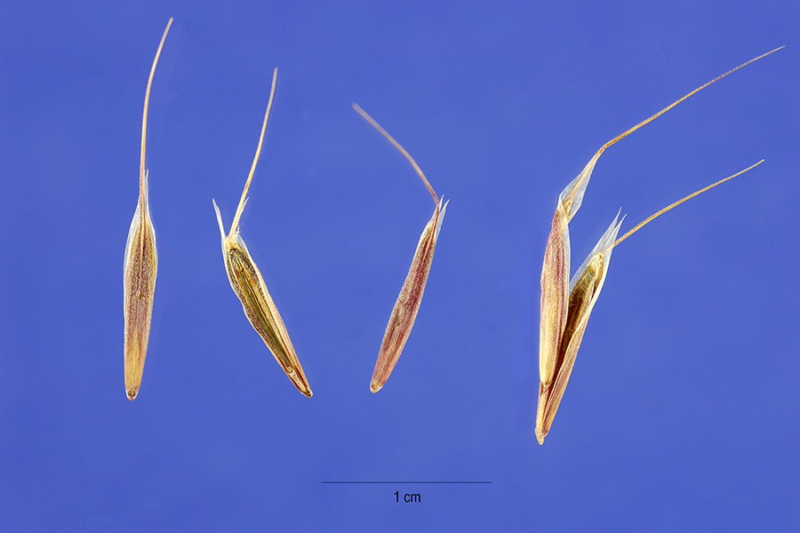 Bromus tectorum seeds. commons.wikimedia.org
