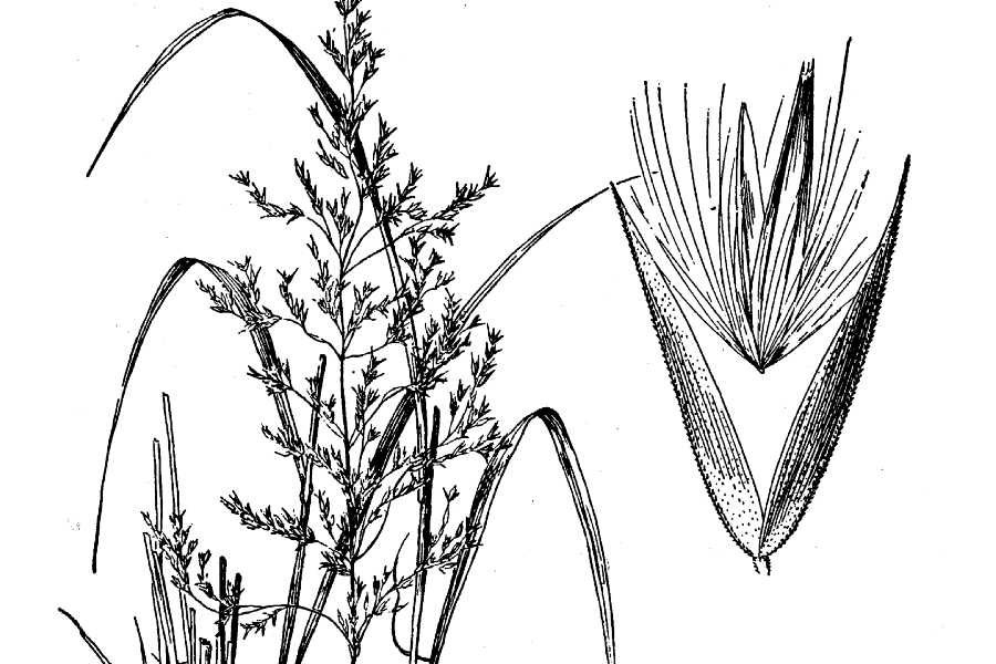 Calamagrostis cinnoides.USDA-NRCS PLANTS Database.Hitchcock, A.S. (rev. A. Chase). 1950. Manual of the grasses of the United States. USDA Miscellaneous Publication No. 200. Washington, DC.