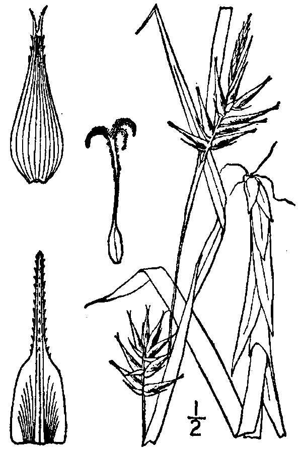 Carex folliculata.USDA-NRCS PLANTS Database.Britton, N.L., and A. Brown. 1913. An illustrated flora of the northern United States, Canada and the British Possessions
