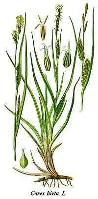 Carex hirta.species.wikimedia.org