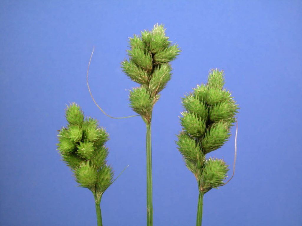 Carex tribuloides.Dan Nickrent.www.phytoimages.siu.edu