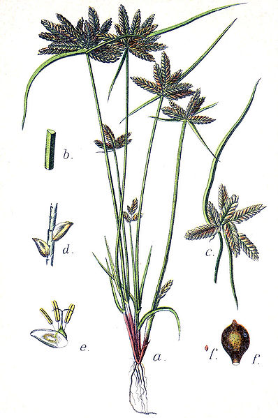Cyperus flavescens.commons.wikimedia.org