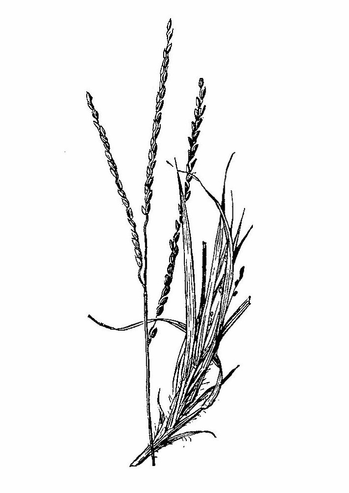 Digitaria filiformis.By Agnes Chase. Public Domain. For Reuse- Contact A.S. Hitchcock. 1950. Manual of Grasses of the United States (2nd edition rev. Agnes Chase), USDA Misc. Pub. 200.New England Wild Flower Society.gobotany.newenglandwild.org
