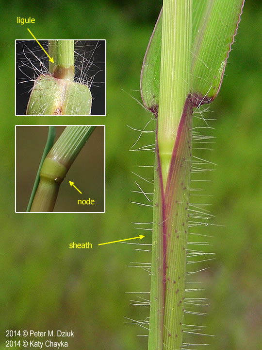 Digitaria sanguinalis ligule, node, sheath. 2014 © Peter M. Dziuk, 2014 © Katy Chayka. Minnesota Wildflowers. minnesotawildflowers.info