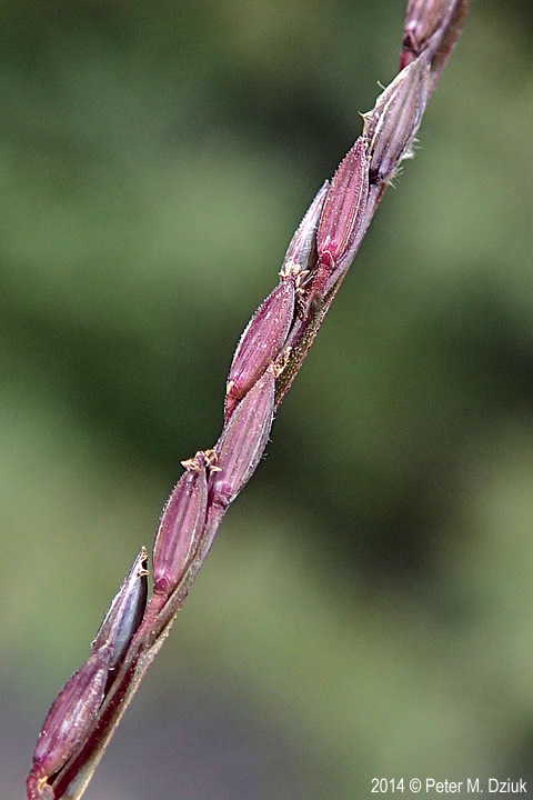 Digitaria sanguinalis mature spikelets. 2014 © Peter M. Dziuk. Minnesota Wildflowers. minnesotawildflowers.info (Accessed 3/2018).