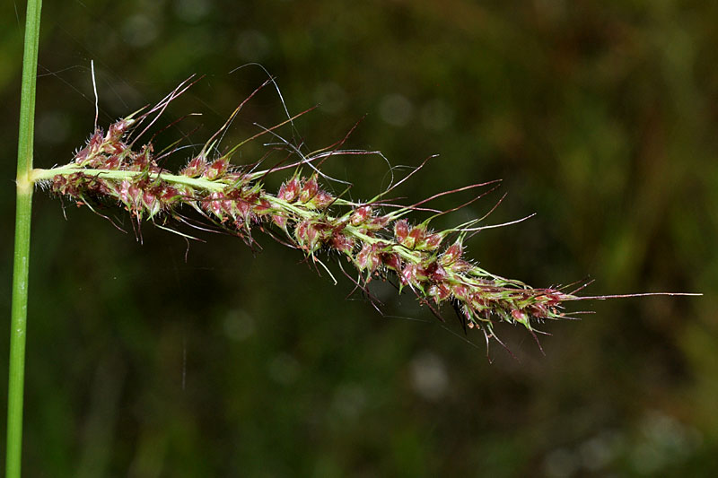 Echinochloa muricata spike. David G. Smith. Delaware Wildflowers. delawarewildflowers.org