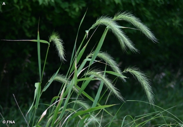 Elymus canadensis.Fontenelle Nature Association.www.fnanaturesearch.org