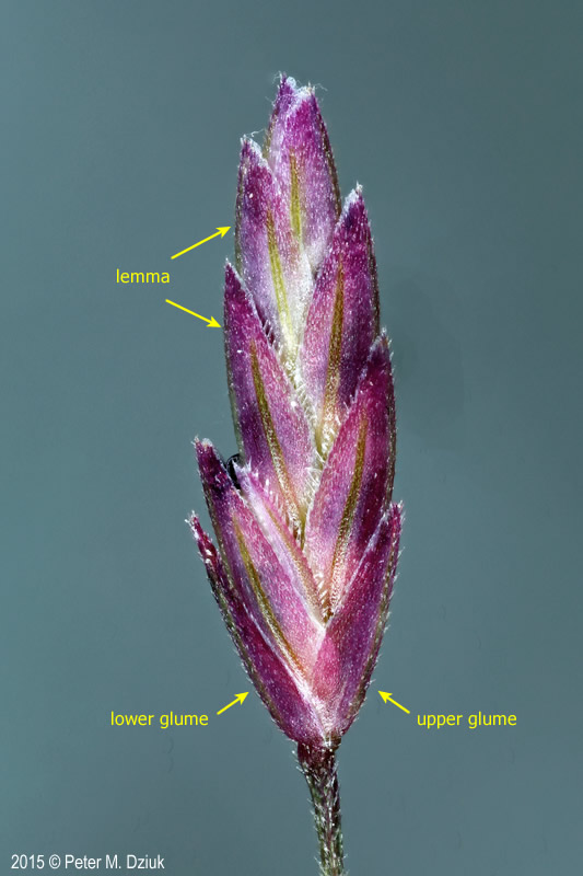 Eragrostis spectabilis spikelet labeled. 2015 © Peter M. Dziuk. Minnesota Wildflowers. minnesotawildflowers.info