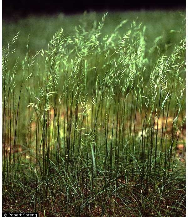 Festuca rubra.Robert Soreng@USDA-NRCS PLANTS Database.Courtesy of Smithsonian Institution, Department of Systematic Biology-Botany