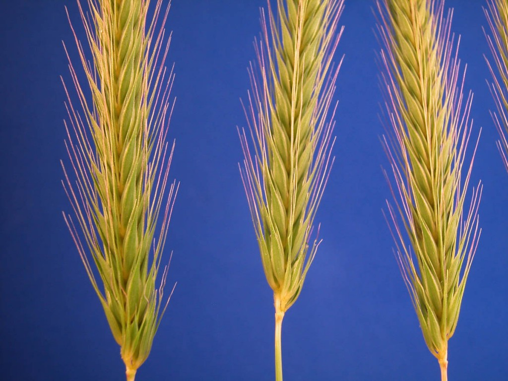 Hordeum pusillum.Copyright © 2006 By Dan Nickrent.phytoimages.siu.edu