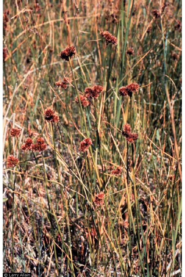 Juncus torreyi.Larry Allain @ USDA-NRCS PLANTS Database