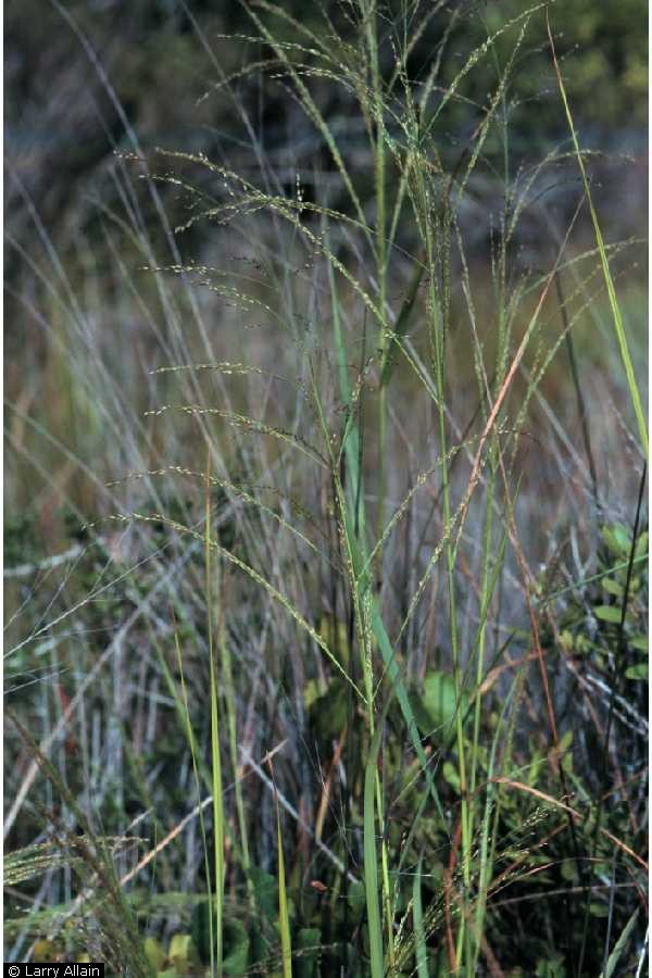Panicum amarum.Larry Allain @ USDA-NRCS PLANTS Database