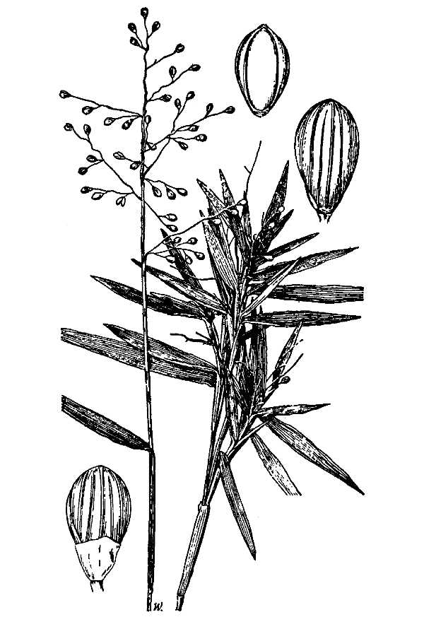 Panicum lancearium.USDA-NRCS PLANTS Database.Hitchcock, A.S. (rev. A. Chase). 1950. Manual of the grasses of the United States. USDA Miscellaneous Publication No. 200. Washington, DC.