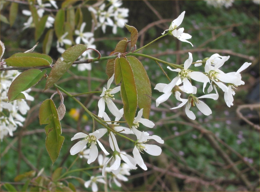 Amelanchier canadensis.commons.wikimedia.org
