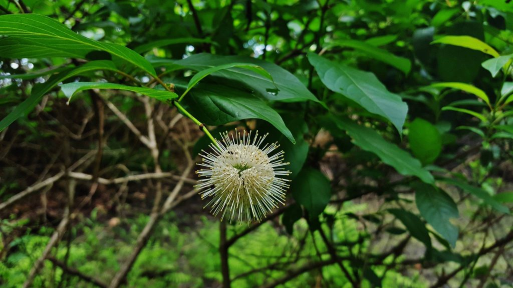 Cephalanthus occidentalis. Matthew Beziat. Fort Smallwood Park. 6/2017