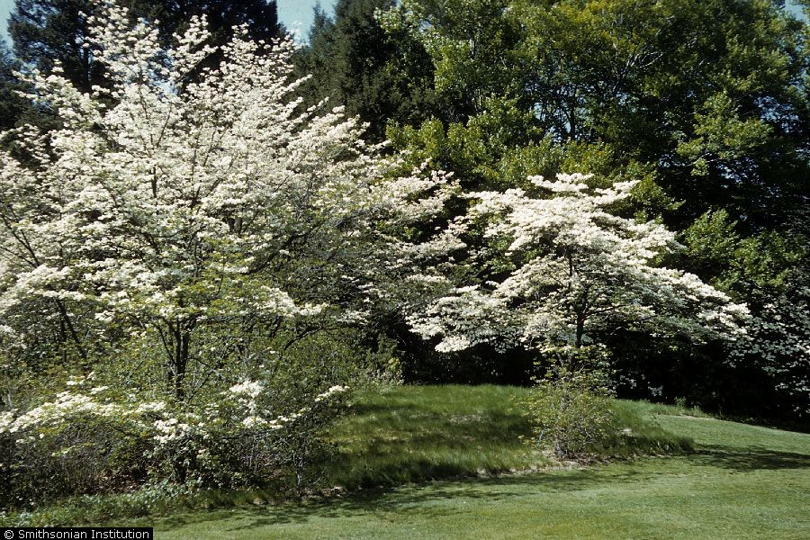 Cornus florida.R.A. Howard, Courtesy Smithsonian Institution.hosted by the USDA-NRCS PLANTS Database