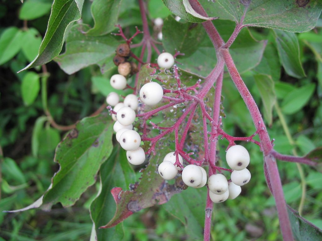 Cornus racemosa fruit. en.wikipedia.org (Accessed 9/2014).