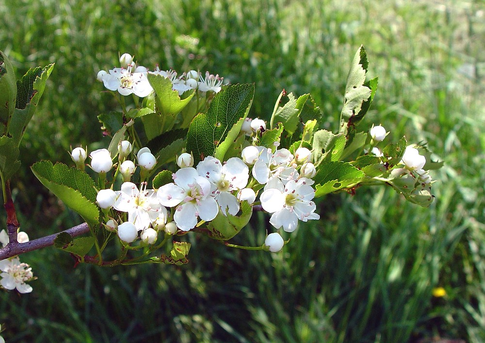 Crataegus crus-galli flowers. By Arthur Haines. Copyright © 2018. New England Wild Flower Society. gobotany.newenglandwild.org