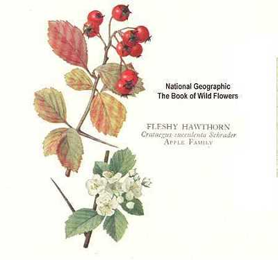 Crataegus succulenta.Robert W. Freckmann Herbarium.University of Wisconsin at Stevens Point.wisplants.uwsp.edu