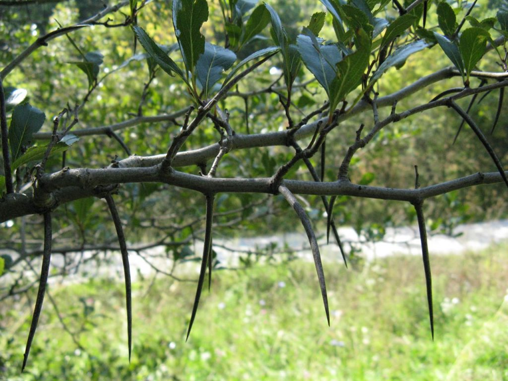 Crataegus_crus_galli thorns and leaves. commons.wikimedia.org