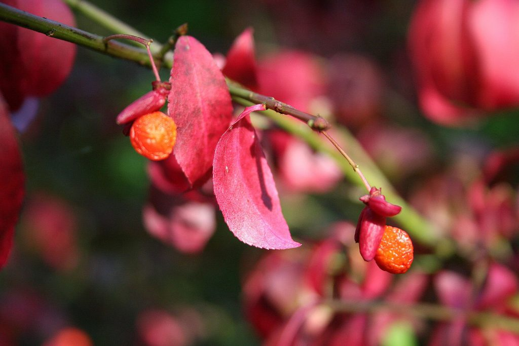 Euonymus alatus fruit. commons.wikimedia.org