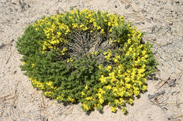Hudsonia tomentosa.©Les Mehrhoff.www.discoverlife.org