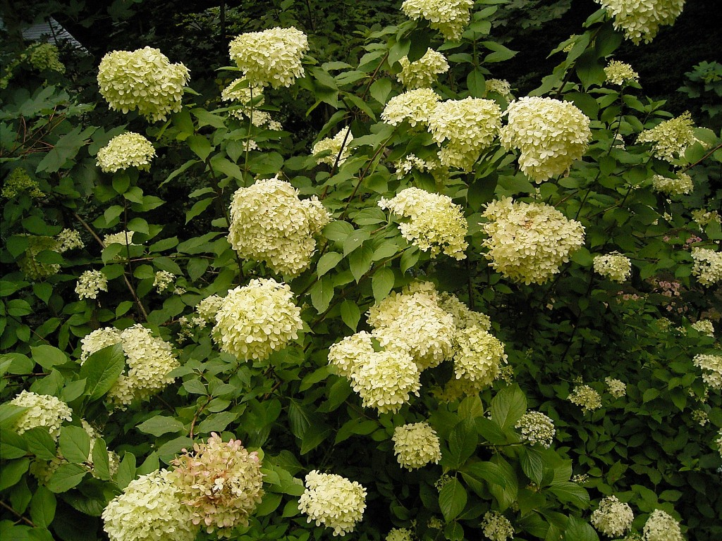 Hydrangea paniculata.commons.wikimedia.org (Accessed 5/2014).