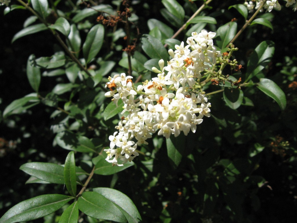 Ligustrum vulgare.commons.wikimedia.org