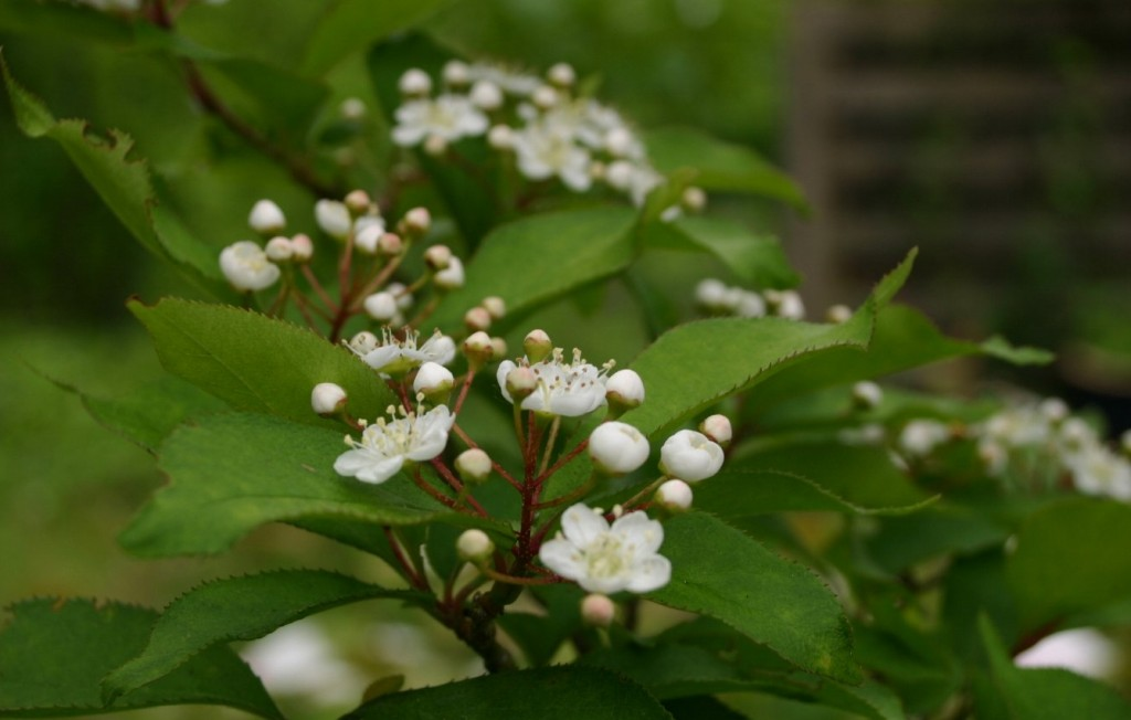 Photinia villosa.commons.wikimedia.org