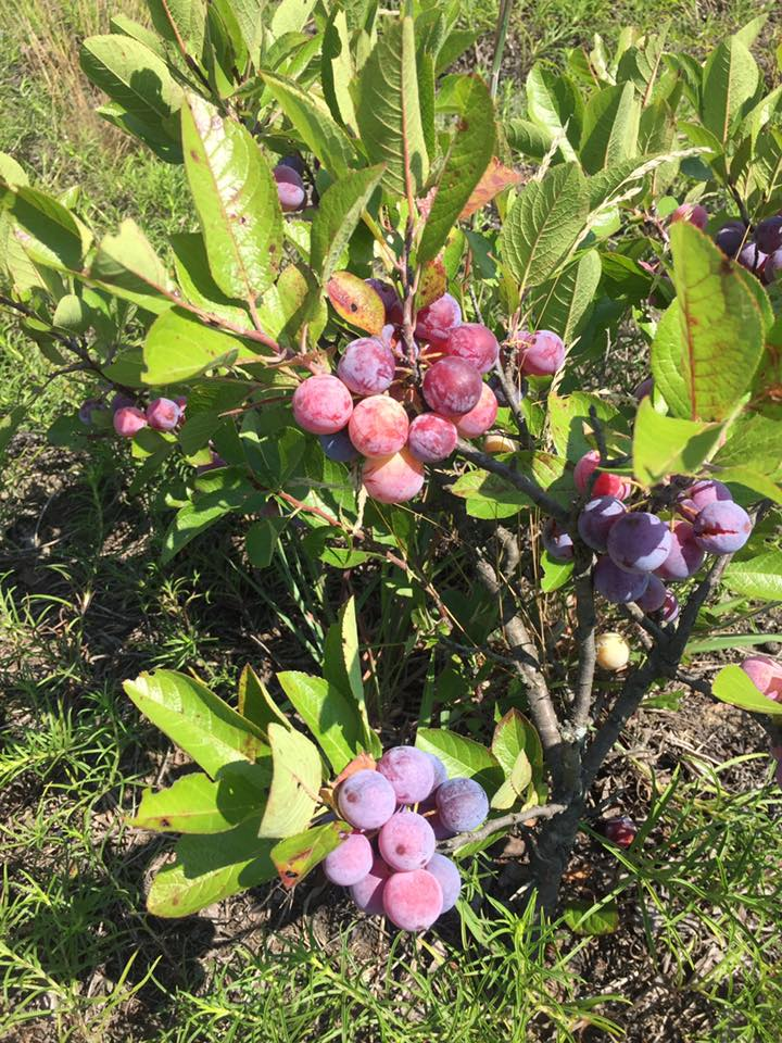 Prunus maritima (beach plum), in fruit. Gary Lincoff. NYC. 8/2017
