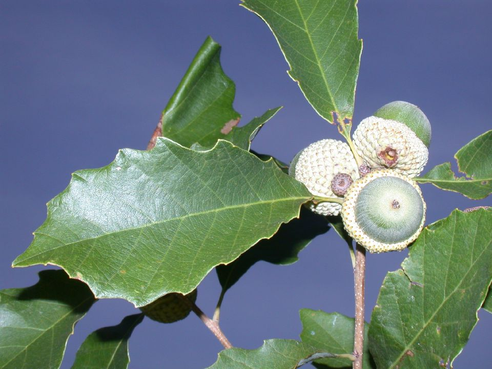 Quercus prinoides.Copyright © 2001 by Kevin C. Nixon.www.plantsystematics.org