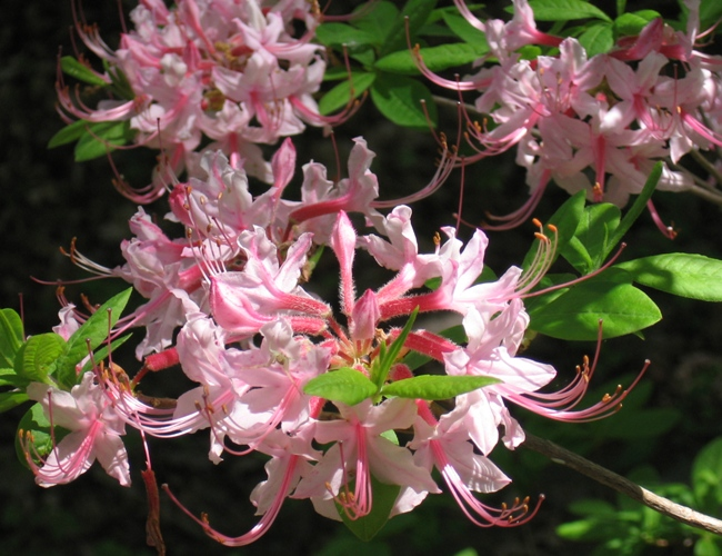 an ecology of the rhododendron Biology, ecology, spread, vectors cross, jr (1975) biological flora of the british isles: rhododendron ponticum€journal of ecology, 63, 345-364.