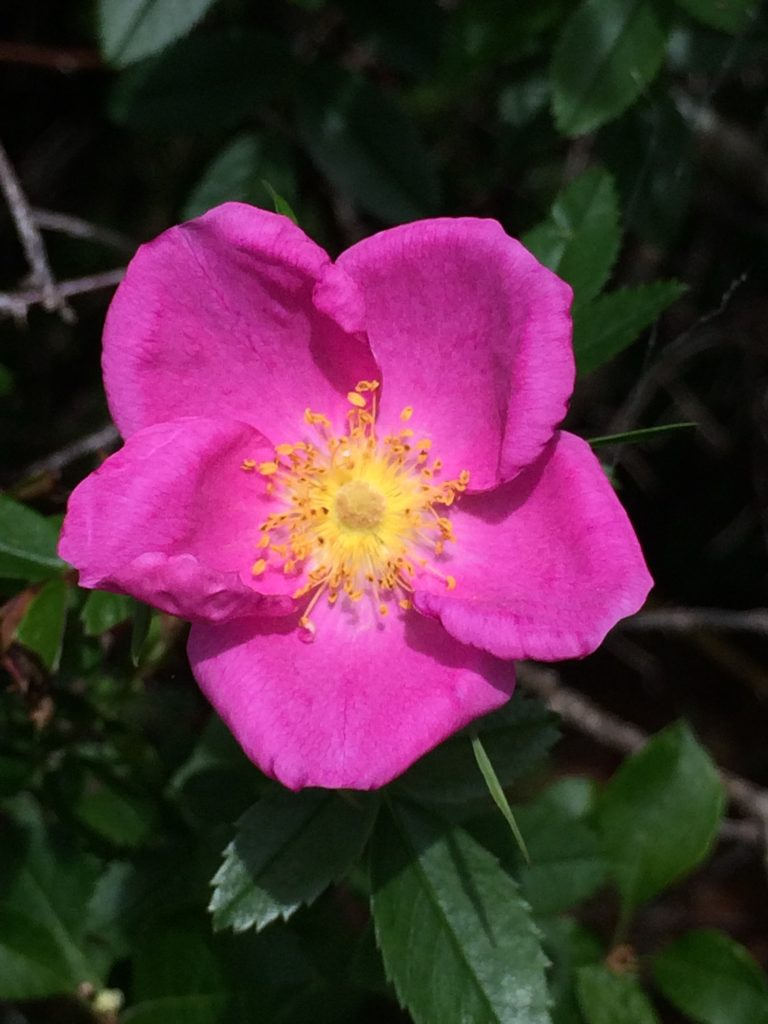 Rosa palustris (swamp rose). flower, MBGargiullo.Nova Scotia Canada.8/1/2016