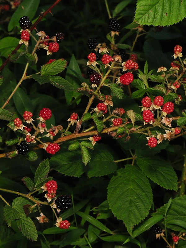 Rubus allegheniensis.fruit.David g. Smith.discoverlife.org