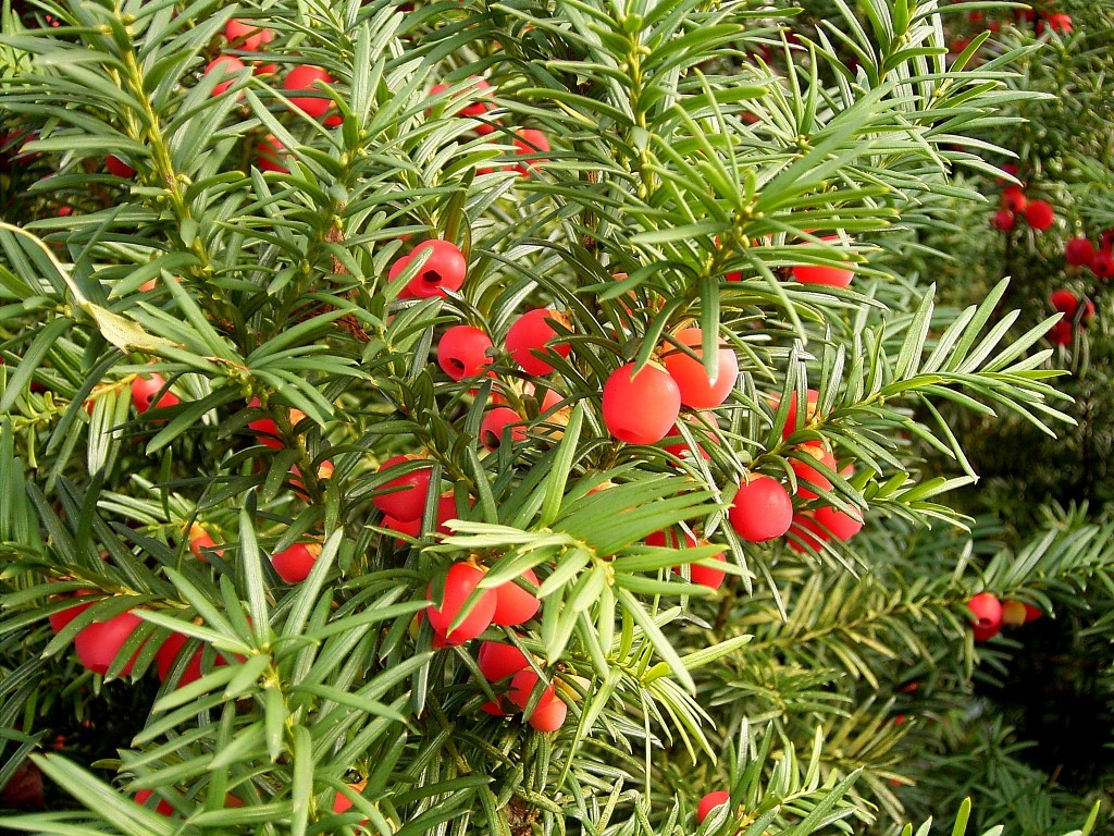 Taxus baccata.commons.wikimedia.org (Accessed 8/2014).