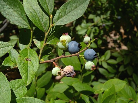 Vaccinium angustifolium.fruit.John Hilty.Illinois Wildflowers.illinoiswildflowers.info