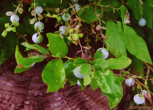 Vaccinium pallidum.JK Marlow. jkm0307k_31 July.Greenville County.SC.Native and Naturalized Plants of the Carolinas and Georgia.namethatplant.net