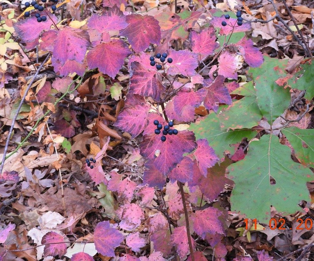 Viburnum acerifolium (maple-leaved Viburnum) fruit and fall color.Andrew Greller.LI, NY. 11/2015
