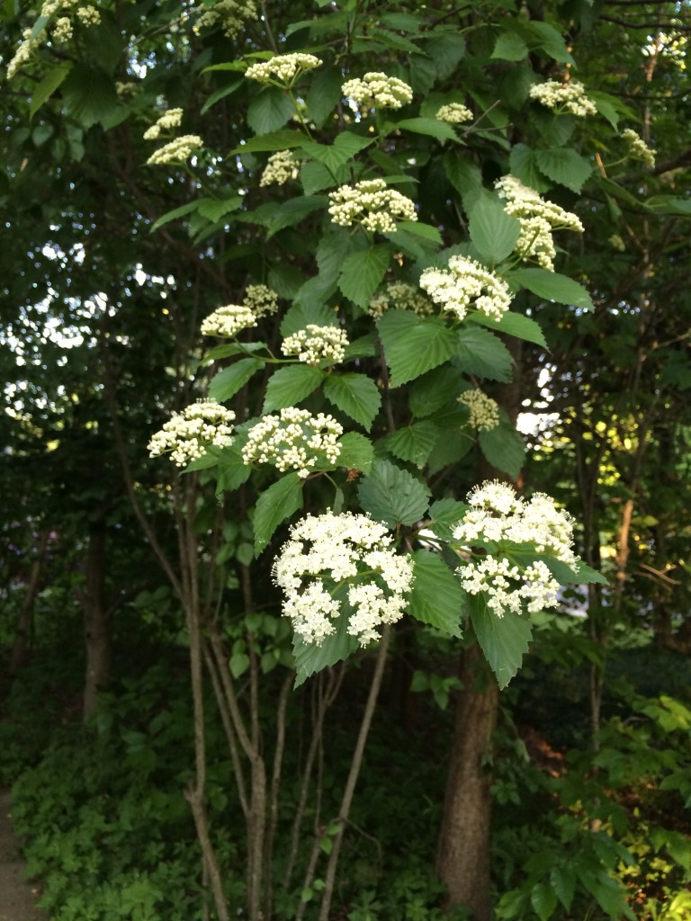 Viburnum dentatum 2. 5:26:2015, side yard