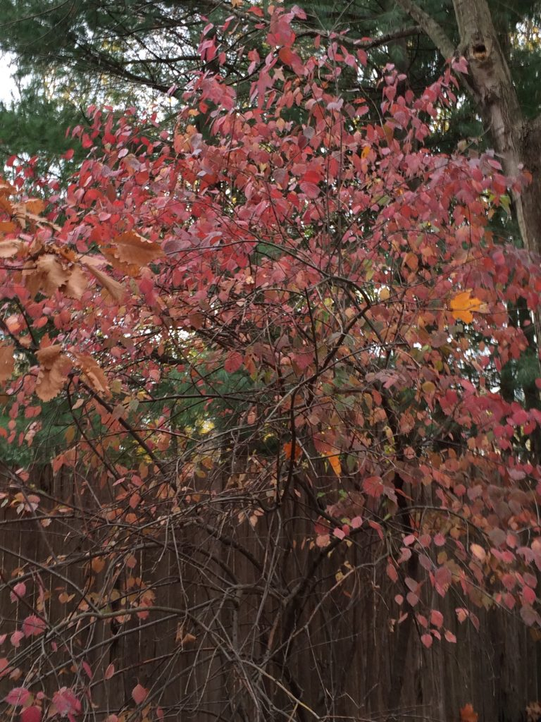 Viburnum dentatum, fall color. back yard.MBGargiullo. 11/12/15