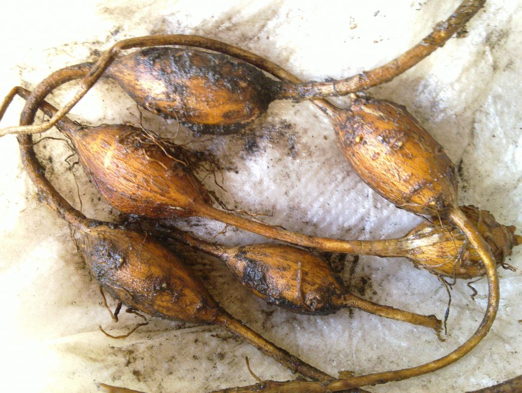 Apios americana (ground nut) tubers. en.wikipedia.org