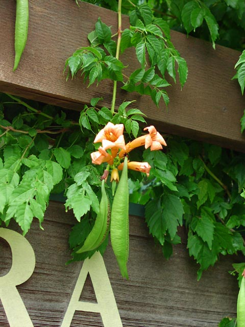 Campsis radicans.Plant Resources Center and Bio406d at the University of Texas at Austin.bio.utexas.edu