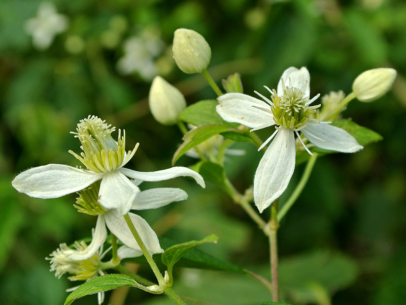 Clematis virginiana flowers. Copyright David G. Smith. discoverlife.org