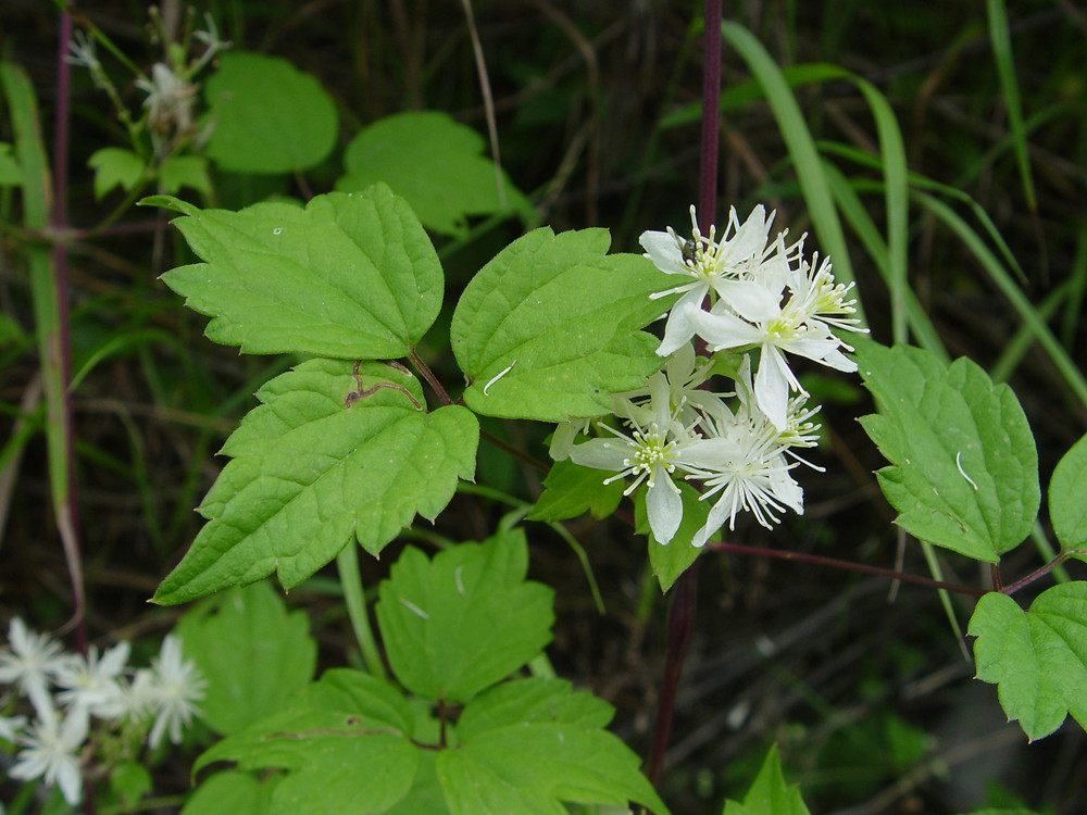 Clematis virginiana leaves and flowers. By Donald Cameron. Copyright © 2018 Donald Cameron. New England Wild Flower Society. gobotany.newenglandwild.org