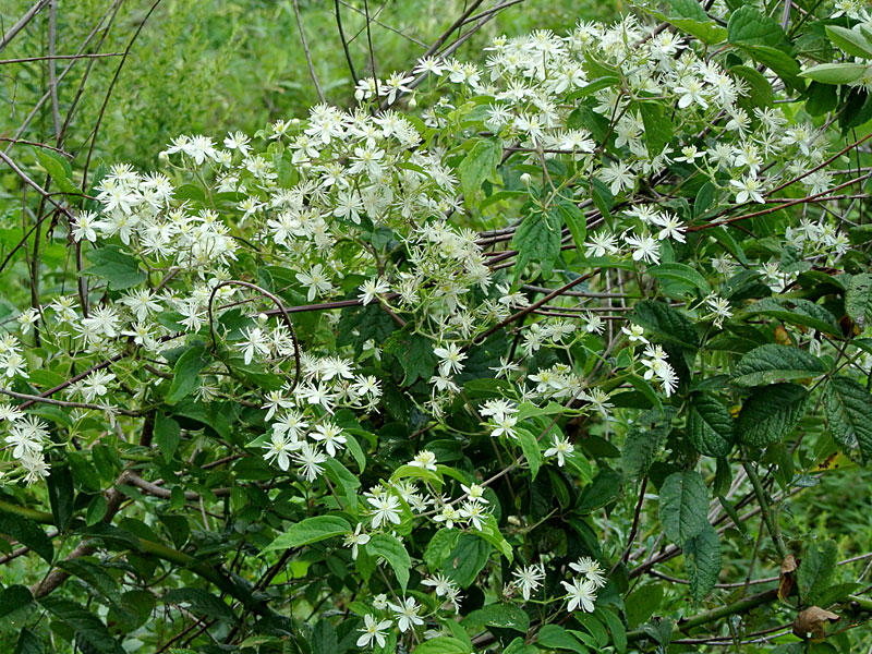 Clematis virginiana vine in bloom. Copyright David G. Smith. discoverlife.org