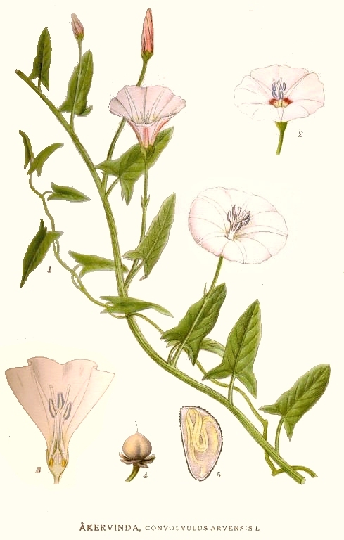 Convolvulus arvensis.commons.wikimedia.org