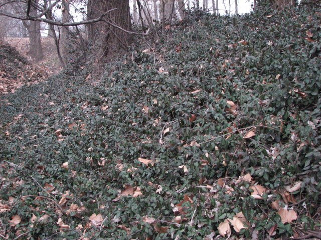Euonymus fortunei covering ground. Kansas Native Plants. kansasnativeplants.com