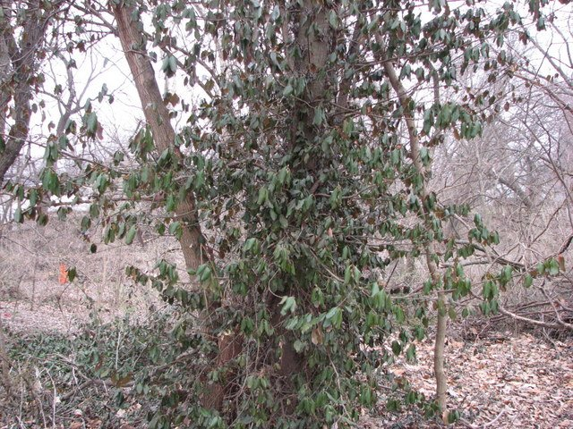 Euonymus fortunei on tree. Kansas Native Plants. kansasnativeplants.com