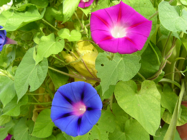 Ipomoea purpurea.commons.wikimedia.org (Accessed 9/2014).