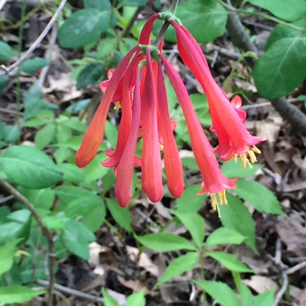 Lonicera sempervirens (trumpet honeysuckle).flowers.MHBG.yard.5.19.2016.*.